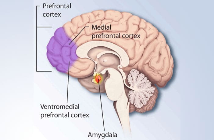 The position of the Amygdala