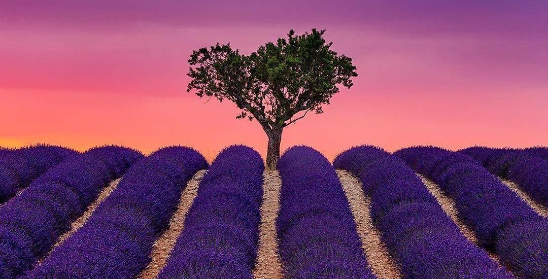 amphora aromatics shea butter and lavender moisturiser