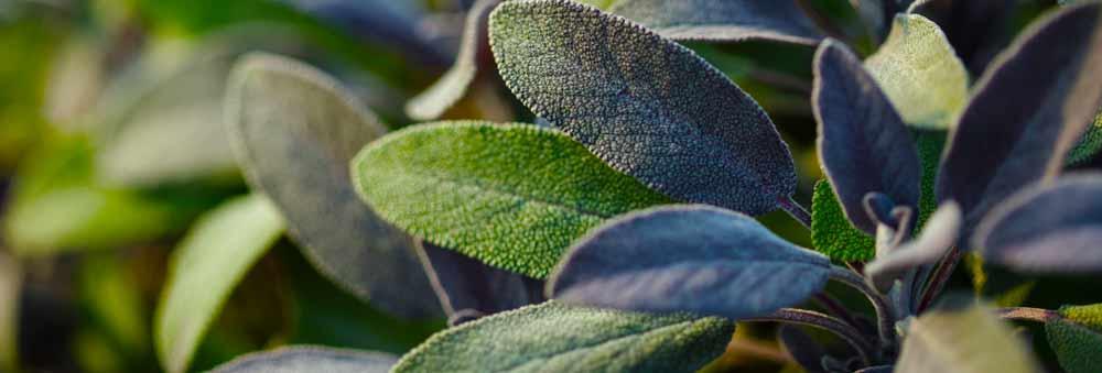 Sage leaves menopause