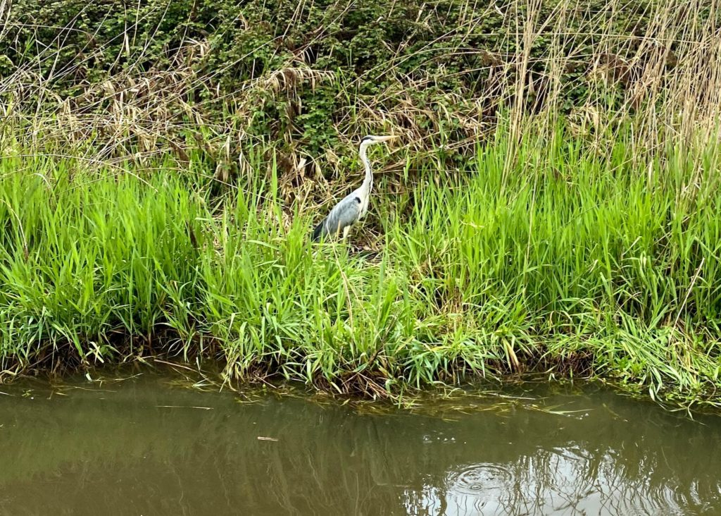A Heron On The Canalside