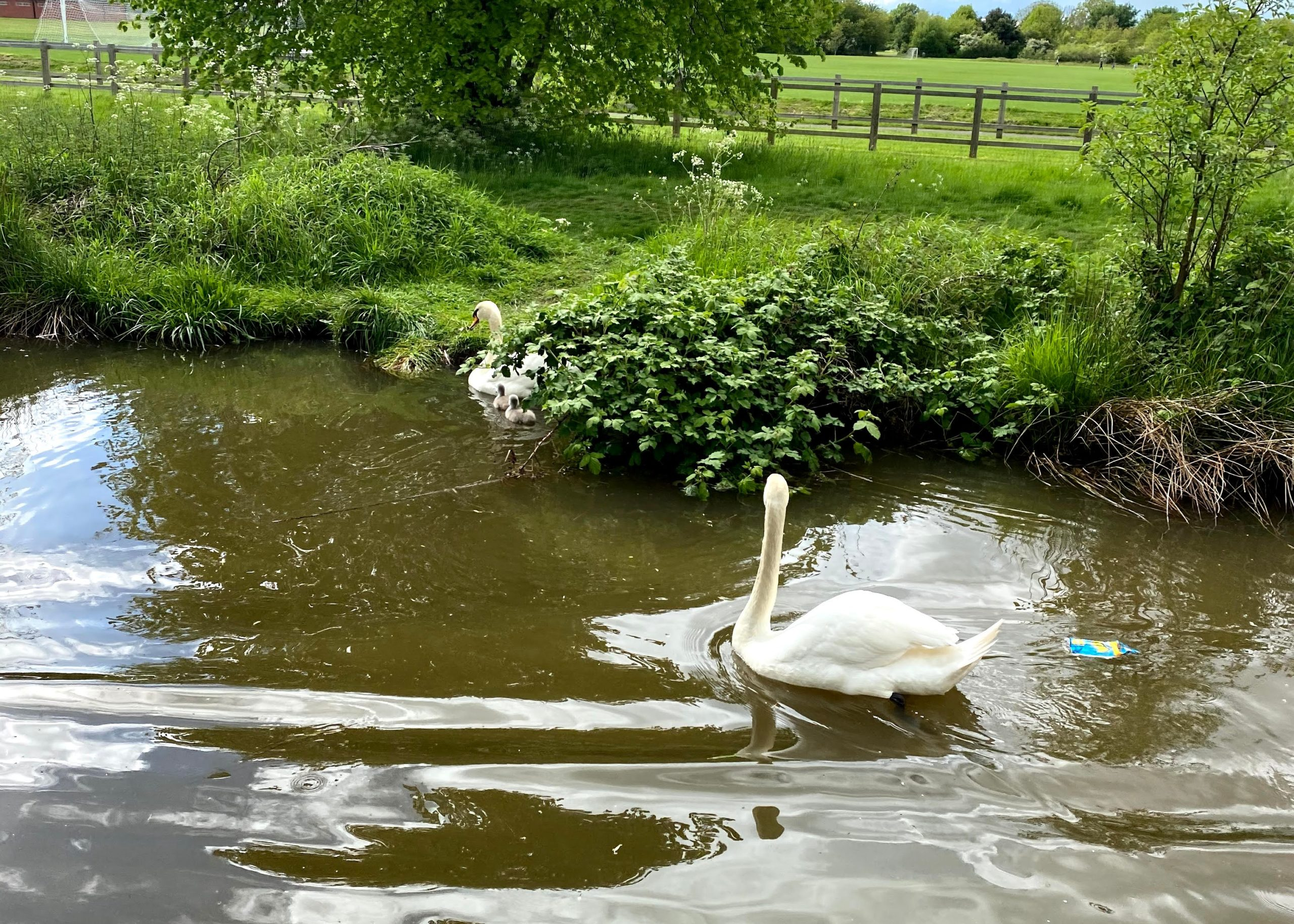 Swans on the Worcester Canal
